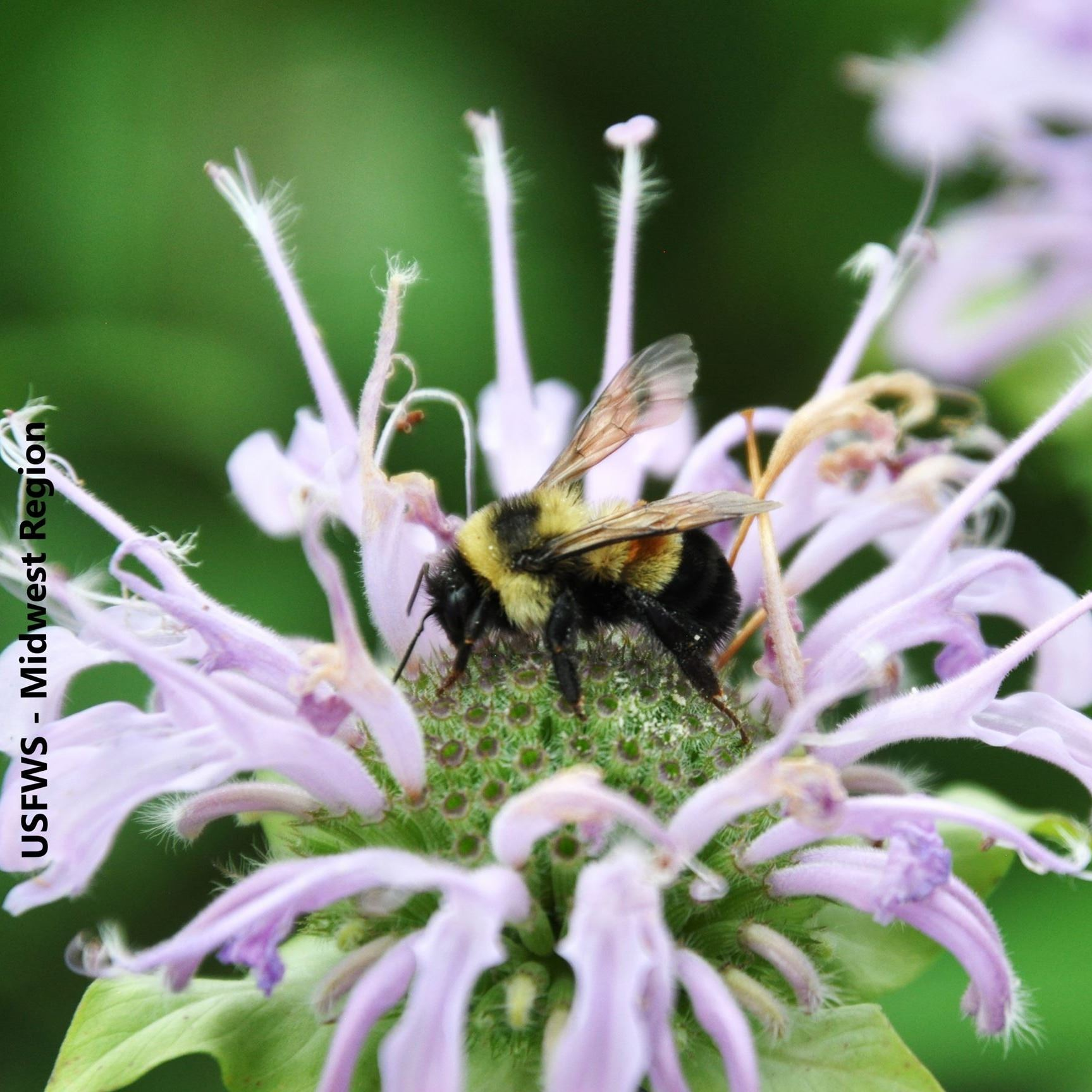 Rusty Patched Bumble Bee on Wild Bergamot, photo taken by US Fish and Wildlife Service Midwest Regio