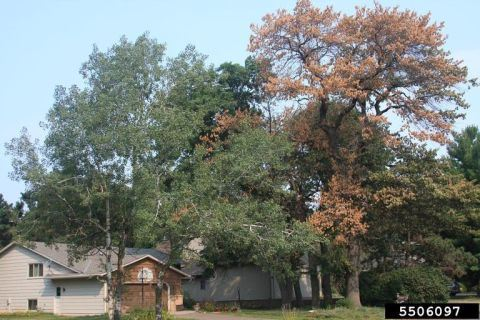 Red Oak Wilt